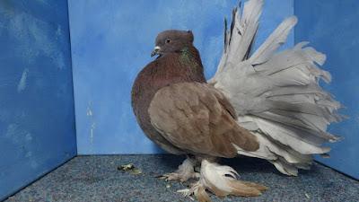 fantail pigeons - Queue de Paon Indien