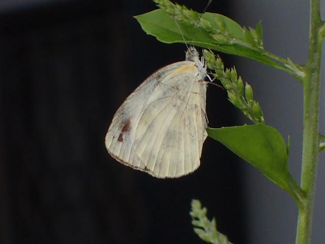 Pieris canidia