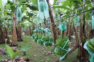 Pupuk Rahasia Agar Pohon Pisang Tumbuh Subur dan Pane Maksimal