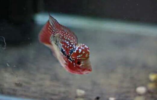 12 Jenis Ikan Louhan Lengkap Disertai Gambar Dan Harganya Hobinatang