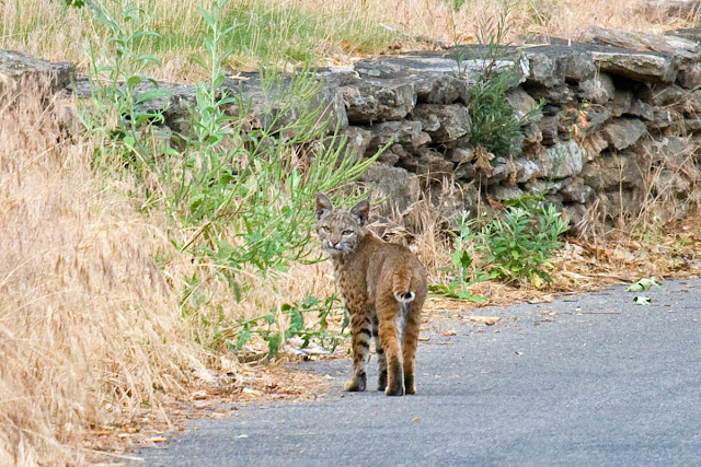 Bobcat at Palomar Mountain
