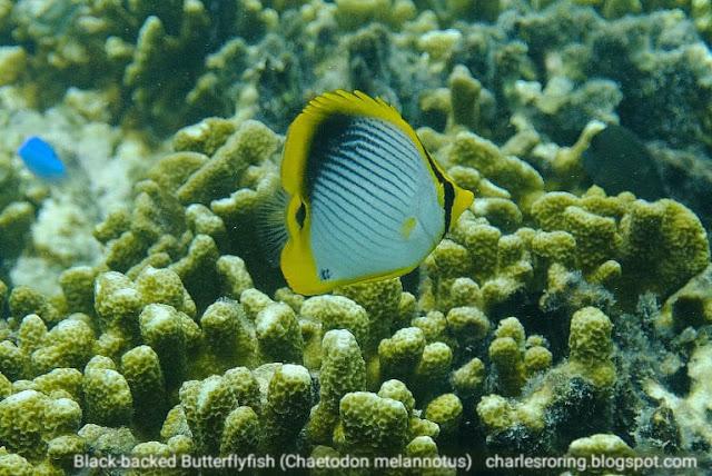Black-backed Butterflyfish (Chaetodon melannotus)