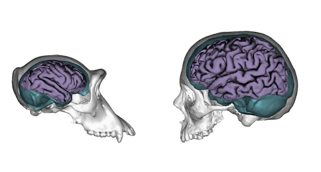 Chimp study reveals how brain's structure shaped our evolution