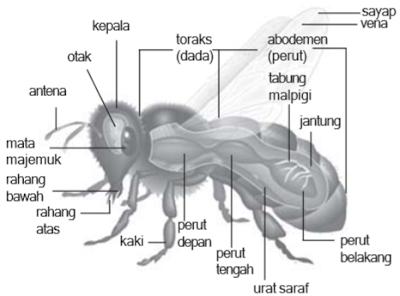 Struktur tubuh Arthropoda