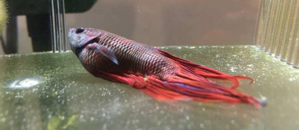 Sembelit Pada Ikan Cupang - 10 Jenis Penyakit pada Ikan Cupang, Penyebab, gejala dan cara mengobatinya