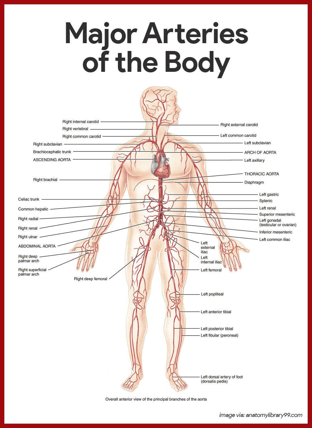 Kardiyovaskuler Sistem Anatomisi Ve Fizyolojisi