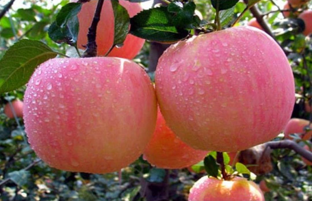 Bisa Beli Ecer! Asli Bibit tanaman buah apel pink honey okulasi siap berbuah Kota Bogor #Jual bibit buah