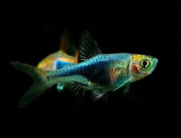 Ikan Black Harlequin Rasbora