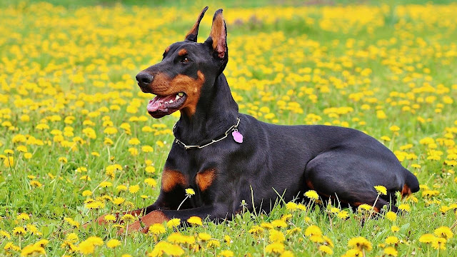 General Temperament of your Doberman with Kids