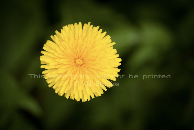 Dandelion 5906 Photo Print