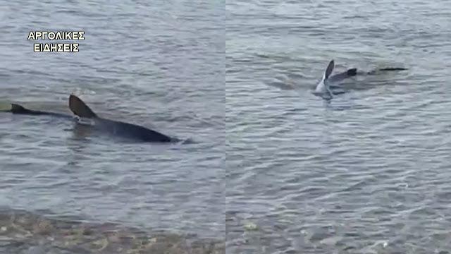 Καρχαρίας εμφανίστηκε στην παραλία Καραθώνας στο Ναύπλιο (βίντεο)