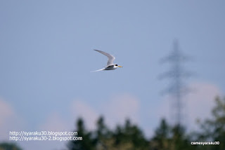 飛翔するコアジサシの写真