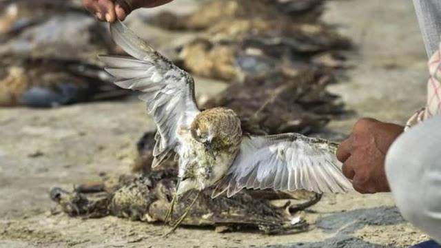 हिमाचल में अलर्ट, पौंग में 105 और प्रवासी पक्षी मृत मिले, पशुपालन विभाग के कर्मियों की छुट्टियां रद्द