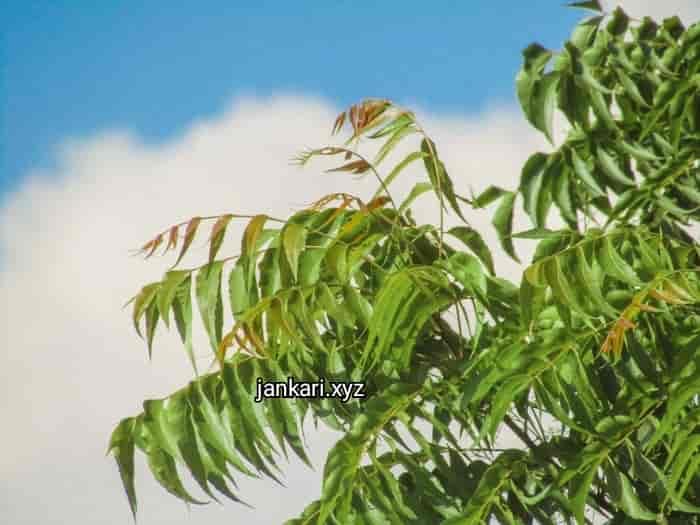 नीम के बेशुमार फायदे  - Benefits of Neem