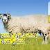 تطبيق عربي ذكي على متجر بلاي ستور سيفاجئك حثما ويساعدك في اختيار الأضحية المناسبة للعيد