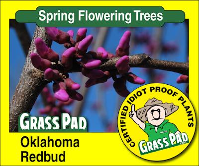 Oklahoma Redbud