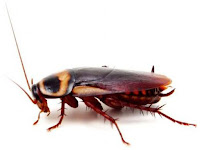 Cockroach Animal Pictures