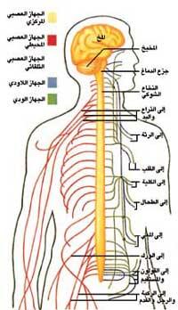 نقل المعلومات العصبية داخل جسم الإنسان