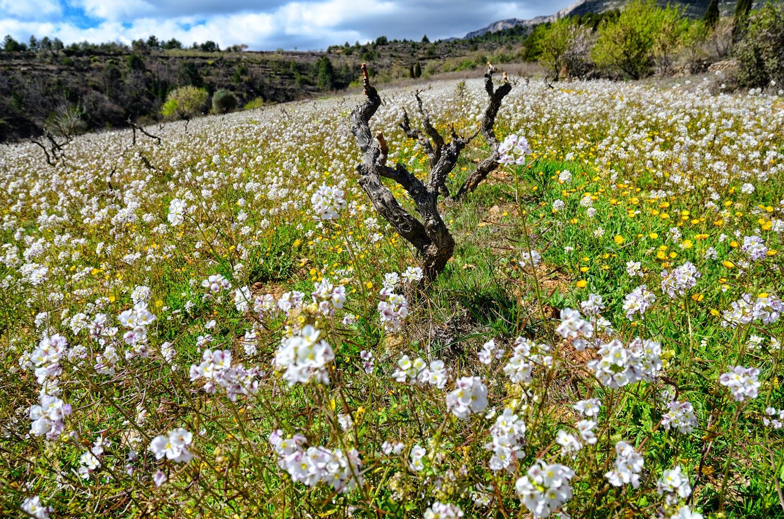 Grape Vine Rootstocks of D.O Montsant