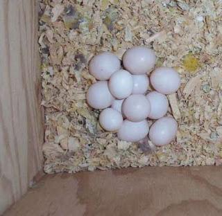 Fertile parrot egg