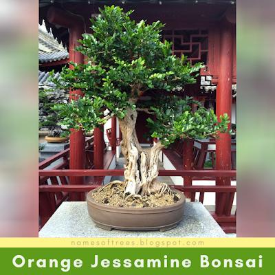 Orange Jessamine Bonsai