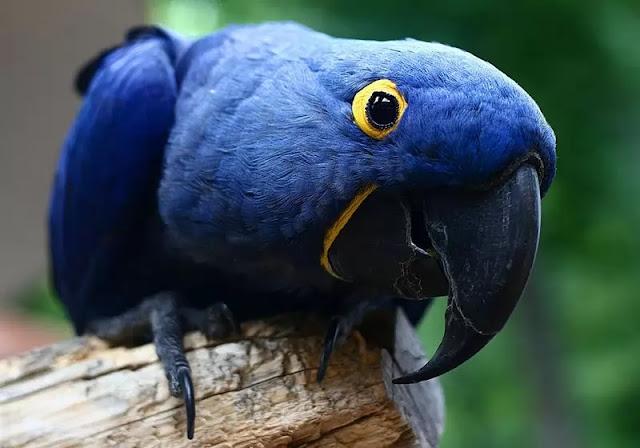 Hyacinth-Macaw-Wallpaper