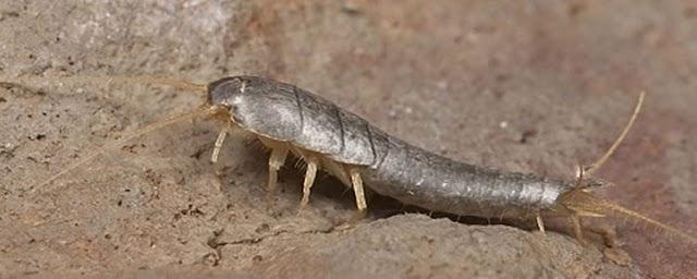 Rutubet Böceği Nedir ? Rutubet Böceği Nasıl Beslenir,Nasıl Yok Edilir ?