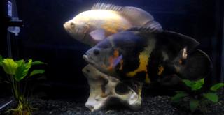 Bagaimana membedakan ikan oscar jantan dan betina