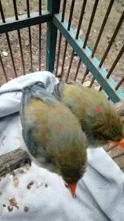Cara Membedakan Burung Kemade Jantan Dan Betina