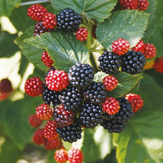 Βατόμουρο - Blackberries