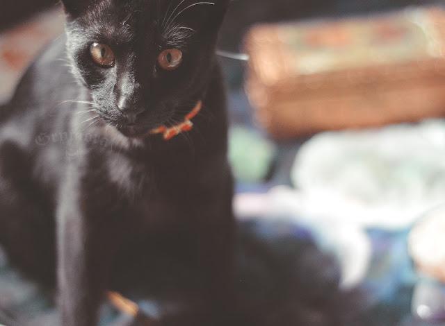 Por que dizem que gatos pretos dão azar?