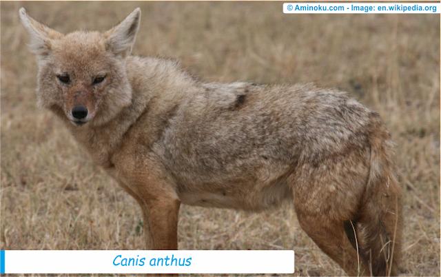 Fakta unik tentang serigala emas afrika