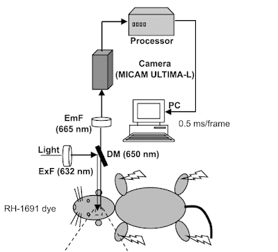 Figure showing scientific method in which rat is made entirely out of ovals.