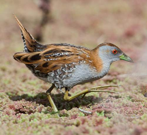 Birds of India - Baillon's crake - Zapornia pusilla