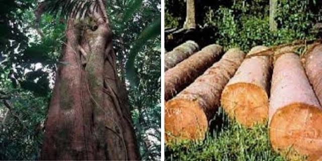 pohon kayu bengkirai