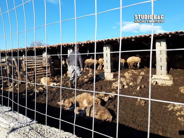 Αργολίδα: Αγέλη από τσακάλια κατασπάραξαν 30 και τραυμάτισαν ακόμα 20 πρόβατα στο Νέο Ροεινό