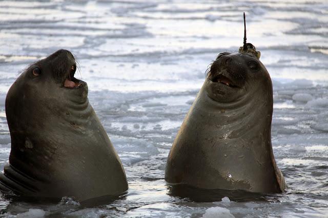 Морской слон со спутниковым устройством слежения на его голове в Тасмании, Австралия