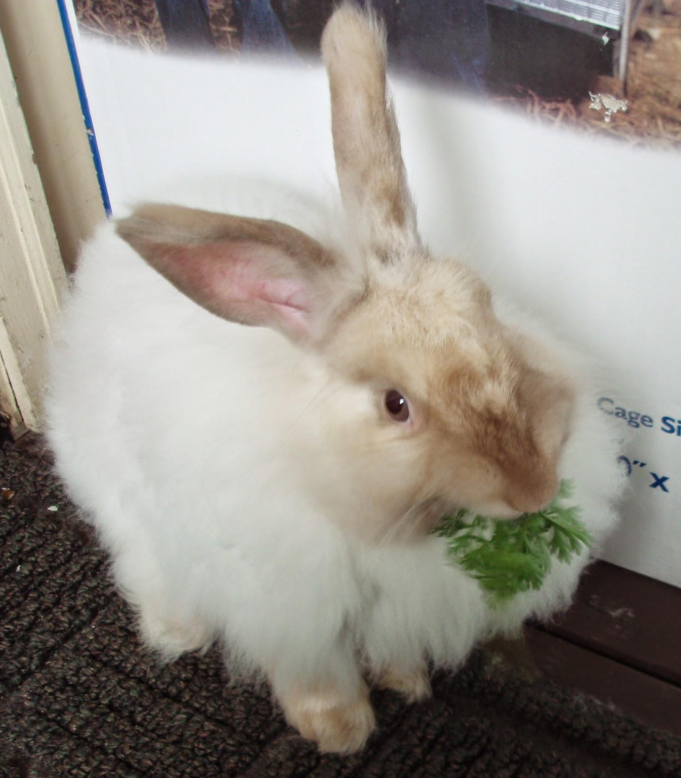 merawat kelinci aggora, foto kelinci anggora putih