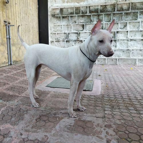 jonangi dog image