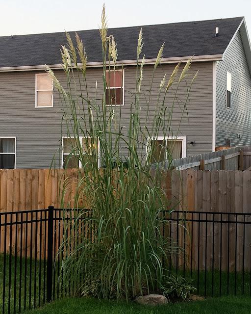 Erianthus ravennae 'Hardy Pampas Grass'