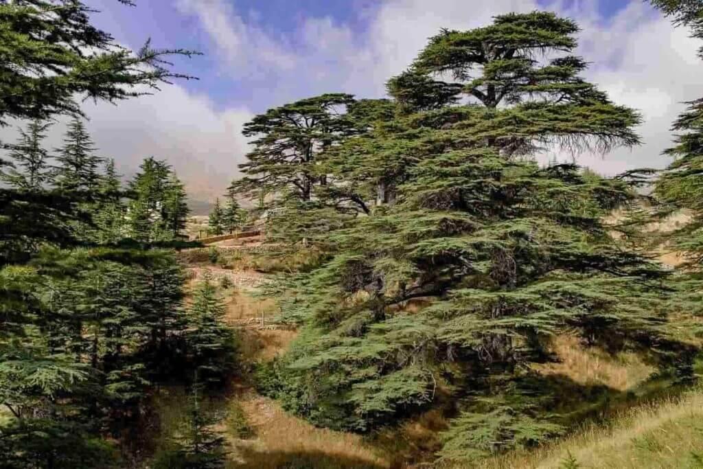 Cedar, Juniper, Yew tree