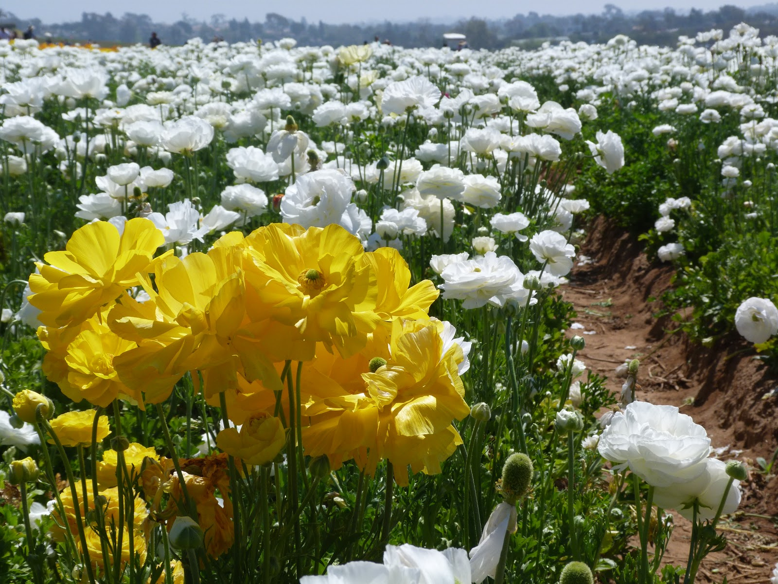 Traveler For Good Explore San Diego The Flower Fields