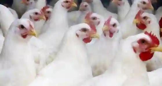 مصدر دجاج البيك