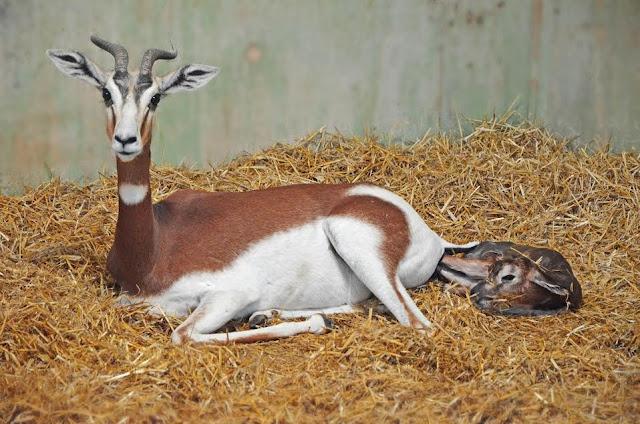 Cría de gacela Mhorr recién nacida en Bioparc Valencia