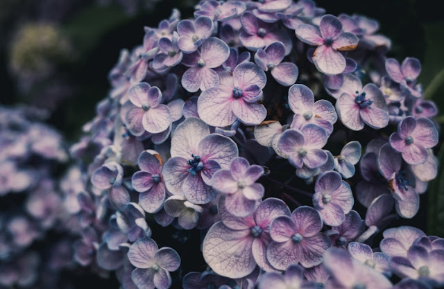 How To Grow Hydrangeas Including Its Best Varieties