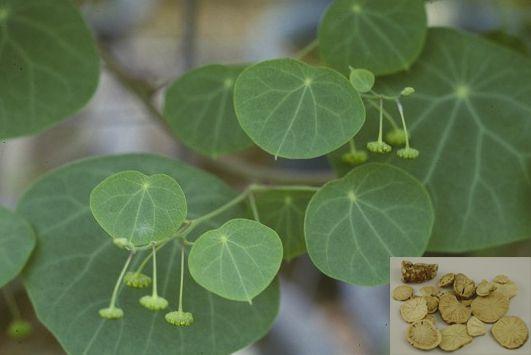 Phấn phòng kỷ - Stephania tetrandra - Nguyên liệu làm thuốc Chữa Tê Thấp và Đau Nhức