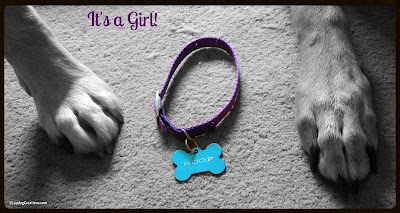 It's A Girl #RescuedDog #AdoptDontShop #LapdogCreations ©LapdogCreations