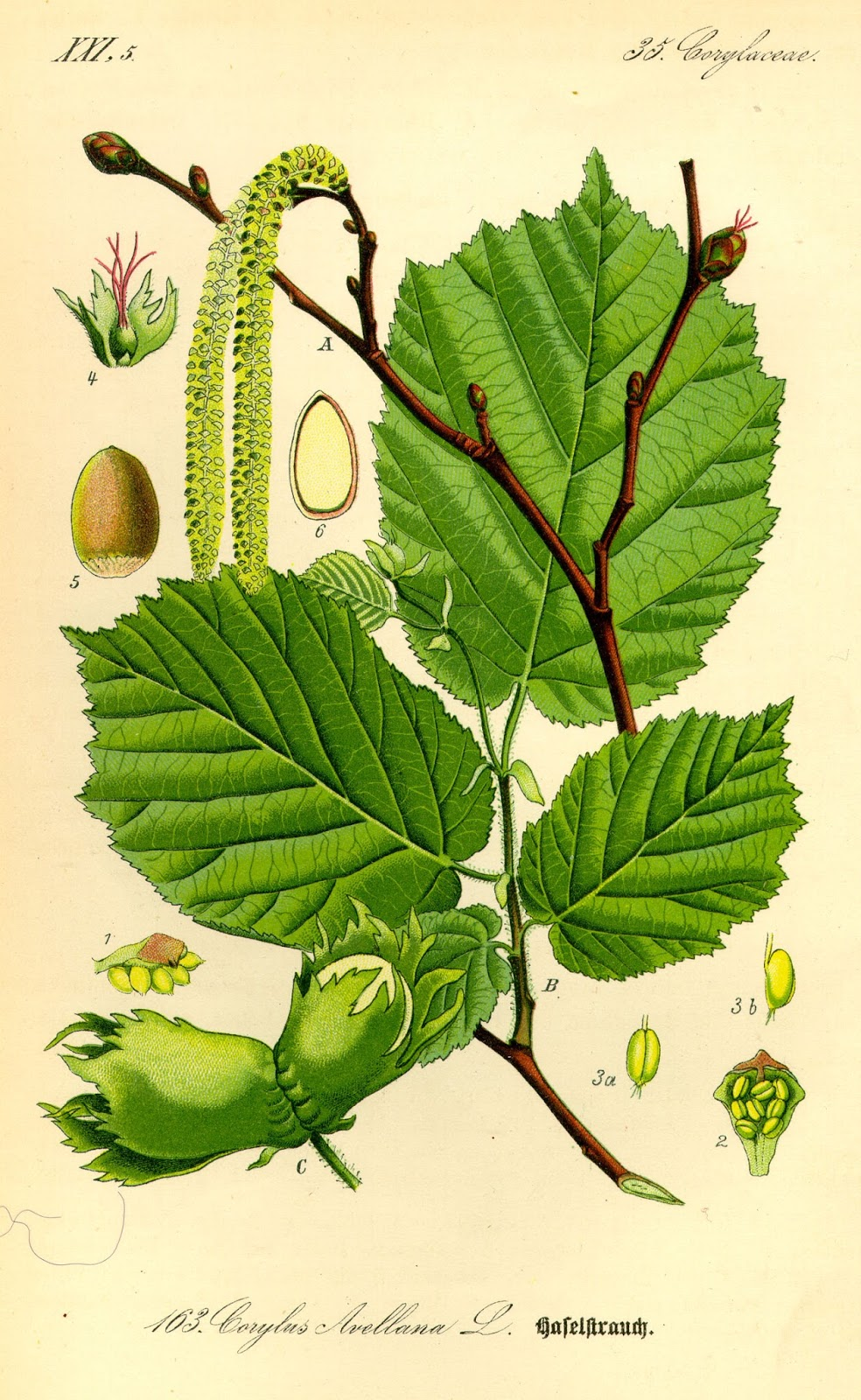 Balkan Ecology Project The Amazing Hazel The Essential Guide