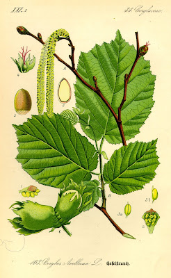 Illustration_Corylus_avellana0.jpg