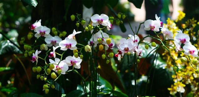 Phalaenopsis moth orchids  Phal